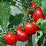 foglie pomodori